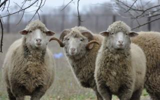 Тонкорунная овца особенности тонкорунных пород