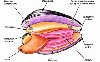 Двустворчатый морской моллюск развитие и размножение