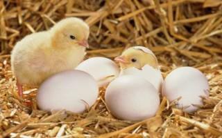 Технологии и условия выращивания цыплят