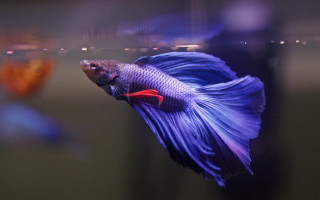 Рыба петушок самка