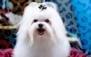 Выбираем правильно витамины для шерсти собак || Витамины для здоровья активности и жизнерадостности чихуахуа