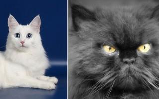 Породы котов Особенности и характеристики каждого вида породистых кошачьих