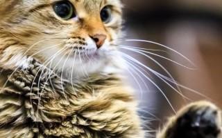 Почему кошка кусается когда ее ласкают
