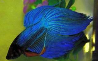 Сколько живут рыбки петушки в аквариуме