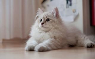 Как правильно убрать колтуны у кота в домашних условиях