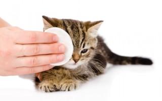Почему кошка плачет причины лечение