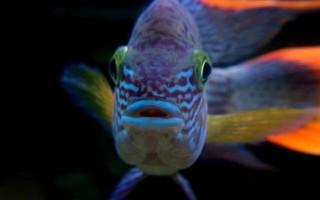 Бирюзовые акары – домашняя аквариумистика