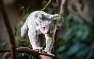 Сколько спят коалы