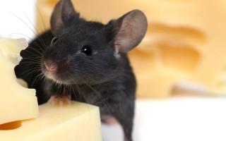 Рагамаффин  огромный добряк который не умеет ловить мышей