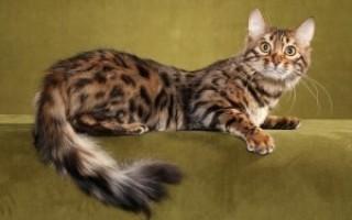 Бенгальская кошка: здоровье (фото) как долго живут бенгалы? нужны ли им прививки? какие наследственные заболевания встречаются в породе бенгальская кошка?