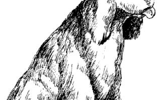 Заболевания кокер-спаниеля – Себорея