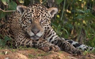Загадочная дикая кошка – черный ягуар: описание, места обитания
