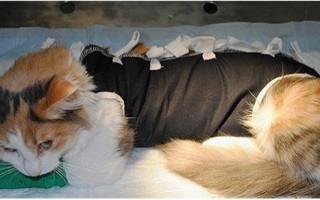 Реабилитация кота после процедуры кастрации Правильный уход за котом после кастрации