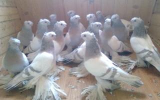 Узбекские голуби: стандарты пород и особенности содержания
