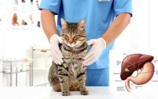 Кома у кошек  причины и симптомы патологии