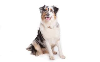 Австралийская овчарка (аусси) – фото собаки, описание характера австралийской овчарки и характеристика породы