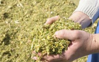 Кукуруза на силос: степень измельчения массы