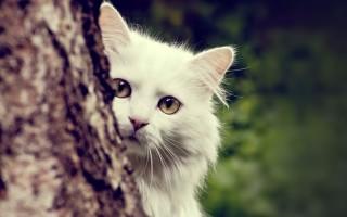Турецкая ангора – кошка султанов и королей