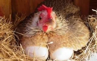 Правда ли что курицы несут яйца без петуха