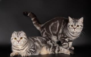 Шотландская вислоухая кошка уход, содержание, кормление