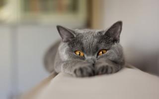Признаки беременности у кошек как определить визуально