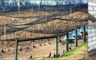 Содержание фазанов в домашних условиях: советы