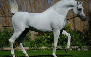 Арабская чистокровная лошадь – фото, описание породы, уход за лошадью