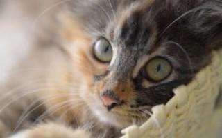 Лечение мочекаменной у кошек. Камни в мочевом пузыре у кота, что делать? Консервативный метод лечения