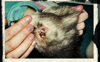 Почему кошка расчесывает себя до крови лечение сильного зуда поможет ли суспензия зуд-стоп