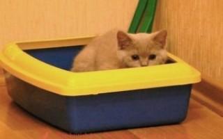 Как воспитывать британскую кошку правильно?