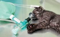 Можно ли пить коту после наркоза. Сколько кошки отходят от наркоза