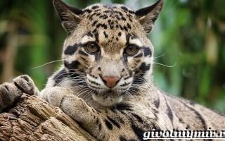 Дымчатый леопард. Фото дымчатого леопарда.