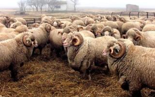Полутонкорунные овцы отличительные особенности полутонкорунных пород