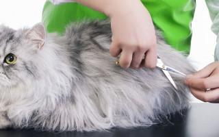 Какие бывают стрижки кошек? Модели стрижек кошек. Фотографии стрижек кошек. Стрижка кошек и собак: прихоть или мера необходимости