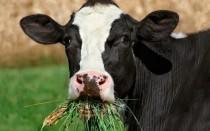 Суточный рацион коровы расчет рациона