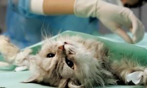 Почему кот вздрагивает. Кошка дрожит после стерилизации