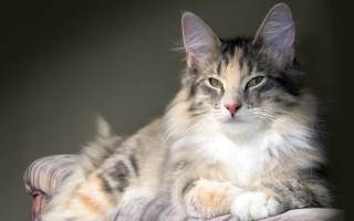 Стерилизация и кастрация кошек – в чем разница и какие последствия