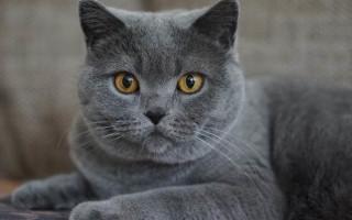 Мастопатия у кошек причины лечение в домашних условиях
