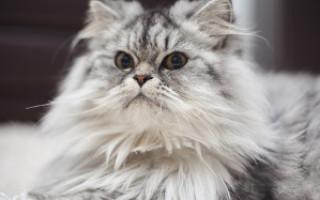 Болячки у кошек: причины и лечение