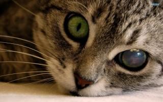 У кота воспалился глаз: что делать?