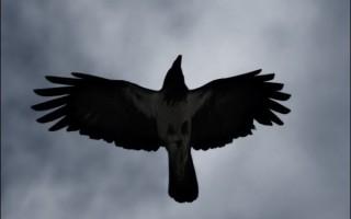 Можно ли приручить ворона