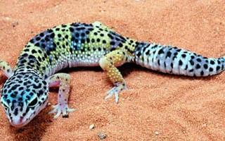 Гекконы, содержание, корм геккона,  фото геккона, геккон токи, разведение гекконов