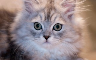 Правила оформления ветеринарного паспорта для кошки