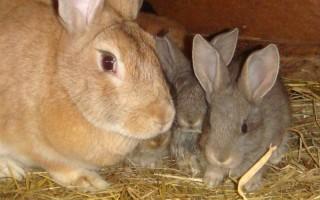 Каким зерном кормить кроликов – особенности правильного рациона