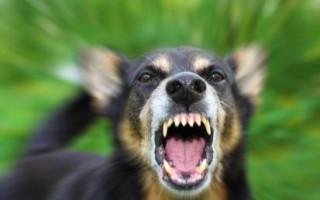 Бешенство у животных – причины, течение и симптомы бешенства