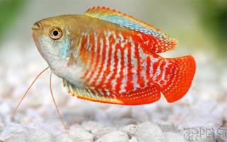 Рыбка Лялиус: содержание и разведение в аквариуме, фото