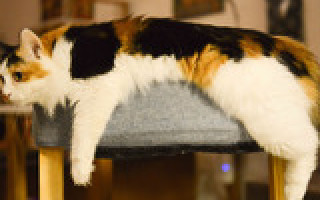 Ожирение животных: почему возникает и как бороться    Лишний вес у домашних животных