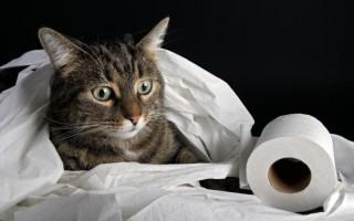 Может Ли У Кошки Перед Родами Быть Понос
