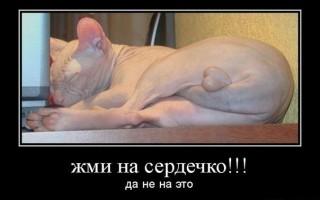 Кастрация кота сфинкса  когда нужно делать операцию