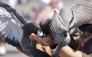 Что едят голуби в домашних условиях